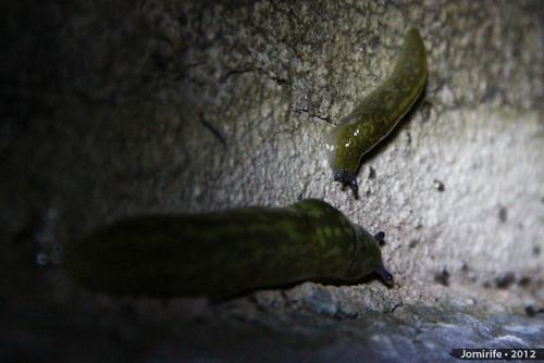 Lesma / Slug (50)