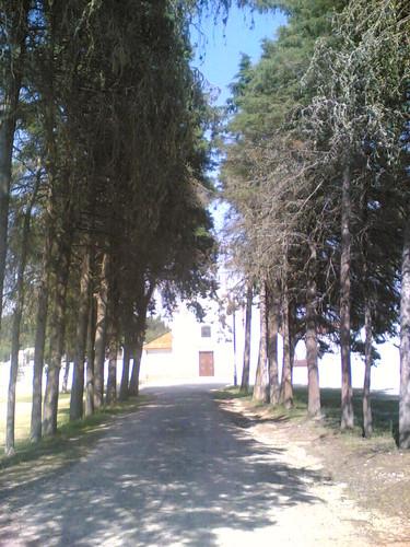 Igreja Matriz de Samuel: Árvores (Soure)