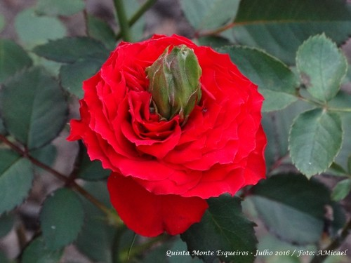 4 -Rosa - Julho 2016 - DSC00233.jpg