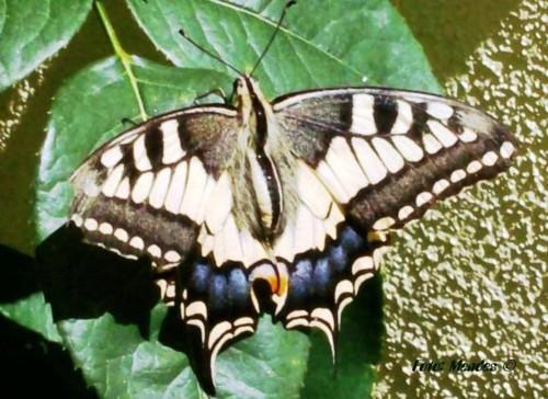 Cerva - A Beleza das Mariposas.JPG