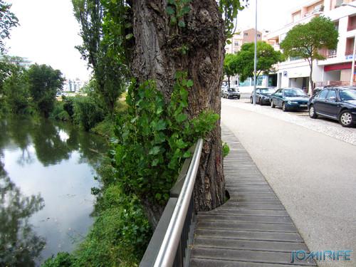 Jardim do Polis Leiria (Este) - Passaderia cortada para árvore [en] Polis Garden of Leiria, Portugal