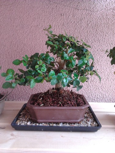 Bonsai ligustrum no novo vaso