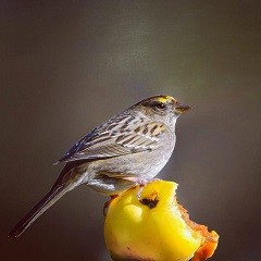 Golden-crowned-sparrow-bird-San-Francisco-CA-Steph