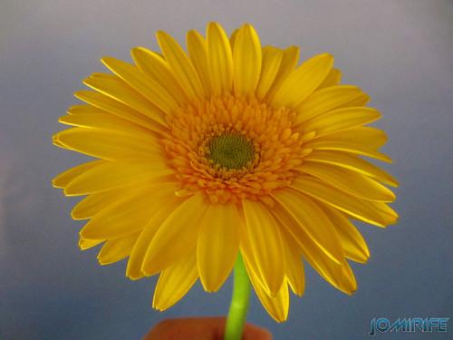 Flor Gerbera amarela, Yellow Gerbera flower (4)