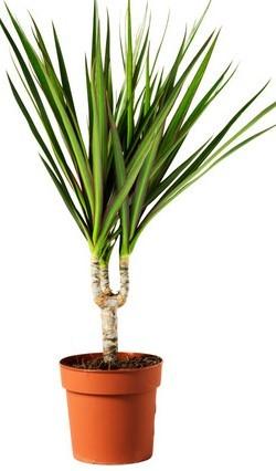 dracaena-marginata-potted-plant__0112750_PE264649_