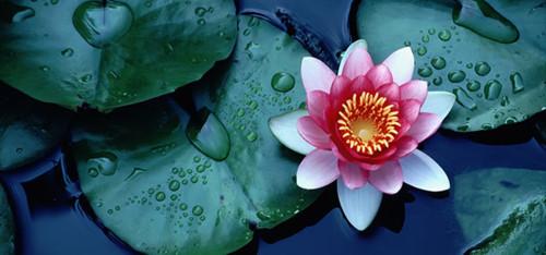flor-de-lótus.jpg