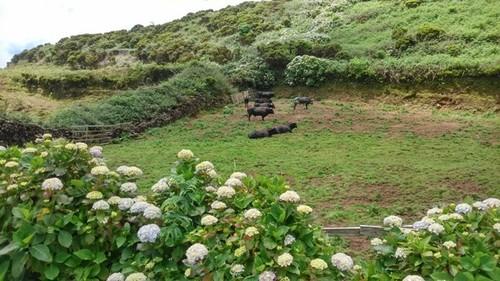 Ilha Terceira-ganadaria de bravo.jpg