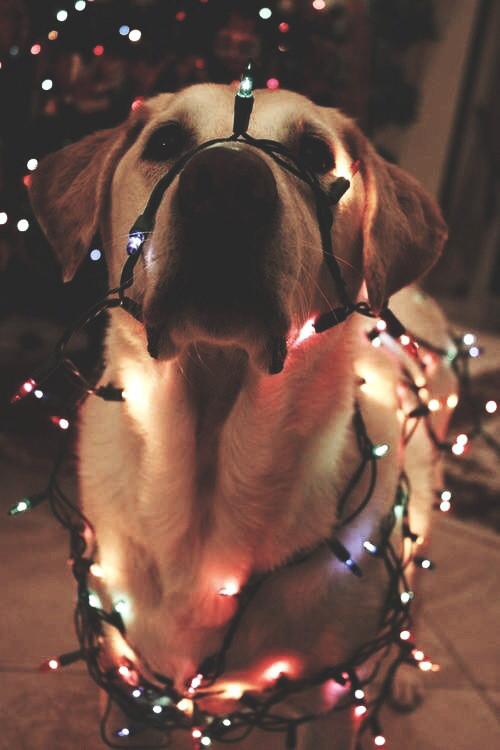 labrador christmas lights.jpg