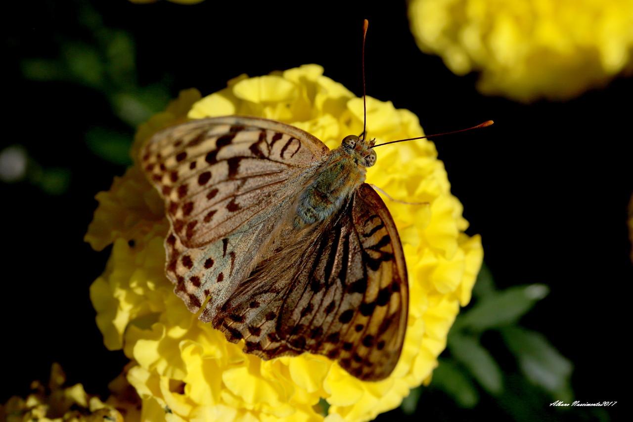 Argynnis pandora_IMG_9999_9 (3).JPG