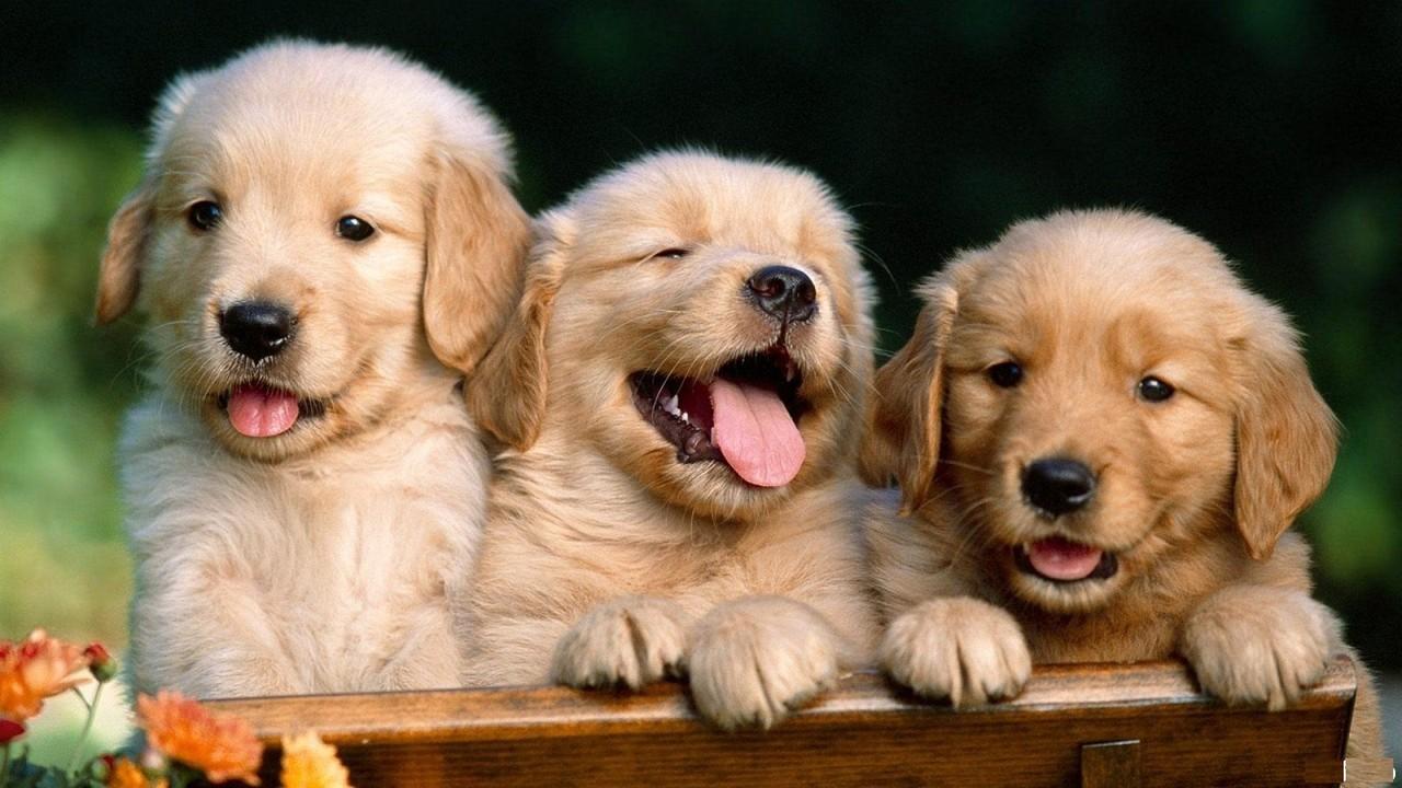 golden retriever cachorros wallpaper imagem de fundo cães