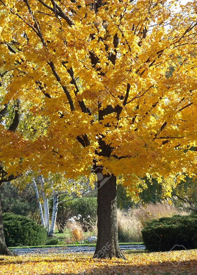 3816434-Stock-Foto-Herbst-Baum-mit-gelben-Bl-ttern