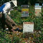 Trabalho das abelhas