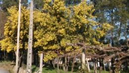 agras esmeriz mimosas.jpg