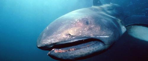 Adesivo Boca De Tubarão ~ Diversidade nos Oceanos Tubarões 6f e o ambiente