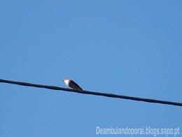 Chilréu - Pássaro dos Telhados